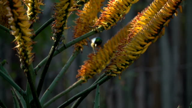 Two Yellow-bellied sunbird-asity jump around an Aloe Marlothii feeding on nectar, Kruger National Park, South Africa