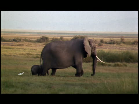 two yellow-billed egrets follow an elephant calf and its mother. - tierische nase stock-videos und b-roll-filmmaterial