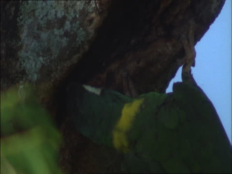 two yellow-collared macaws cling to a tree trunk. - plant bark stock videos and b-roll footage