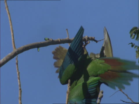 stockvideo's en b-roll-footage met two yellow-collared macaws hang upside down from a branch and one flies away. - plant attribute
