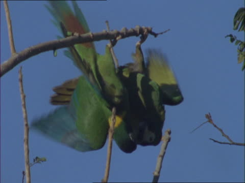 two yellow-collared macaws peck at each other and flap their wings while hanging from a branch. - other stock videos & royalty-free footage