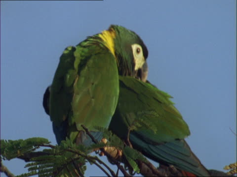 two yellow-collared macaws preen each other. - other stock videos & royalty-free footage
