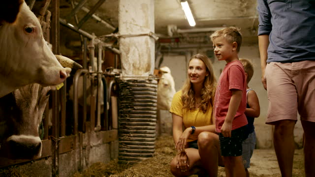 two young boys mother and father visiting cows indoors at a farm - medium group of animals stock videos & royalty-free footage