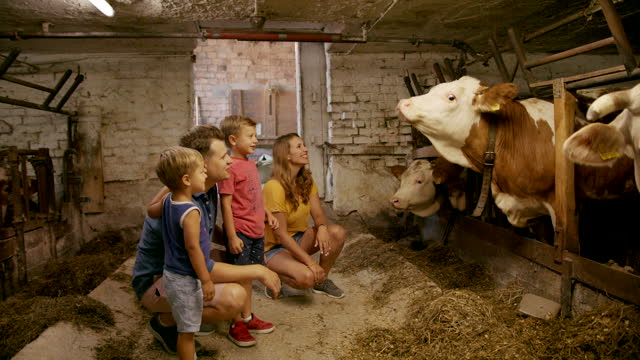 two young boys mother and father visiting cows indoors at a farm - small group of animals stock videos & royalty-free footage