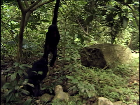 ws, ms, two young chimpanzees (pan troglodytes) fighting for fruit in forest, gombe stream national park, tanzania - hanging stock videos & royalty-free footage