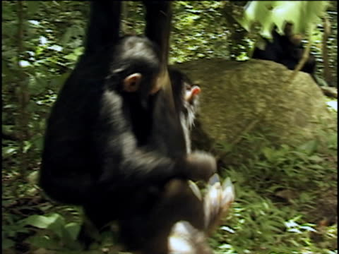cu, two young chimpanzees (pan troglodytes) hanging on tree, fighting for fruit, gombe stream national park, tanzania - hanging stock videos & royalty-free footage