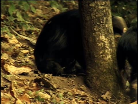 vídeos y material grabado en eventos de stock de ms, two young chimpanzees (pan troglodytes) playing around tree, gombe stream national park, tanzania - parque nacional de gombe stream