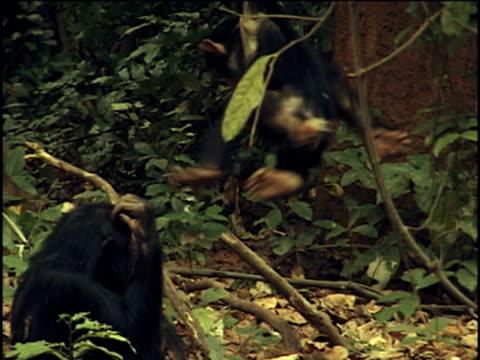 vídeos y material grabado en eventos de stock de ms, zo, two young chimpanzees (pan troglodytes) playing in forest, gombe stream national park, tanzania - parque nacional de gombe stream