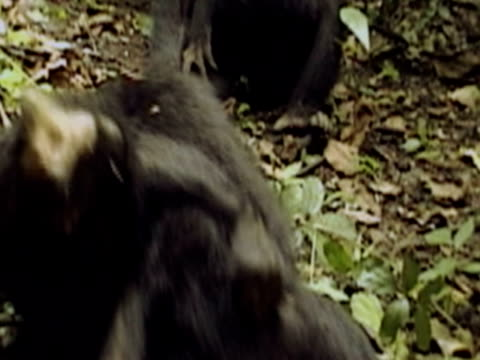 cu, pan, two young chimpanzees (pan troglodytes) playing in forest, gombe stream national park, tanzania - common chimpanzee stock videos & royalty-free footage