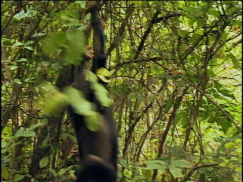 vidéos et rushes de ms, two young chimpanzees (pan troglodytes) playing in forest, gombe stream national park, tanzania - quatre animaux