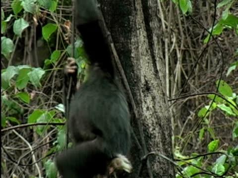vídeos y material grabado en eventos de stock de ms, tu, two young chimps (pan troglodytes) hanging on tree vine and playing, gombe stream national park, tanzania - parque nacional de gombe stream