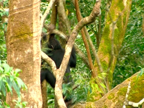 MS Two young chimps play fighting on branch, swinging on branches, chasing each other and hitting branch