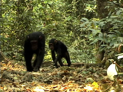 vidéos et rushes de ms, ds, two young chimps (pan troglodytes) walking on path in forest, gombe stream national park, tanzania - chimpanzé