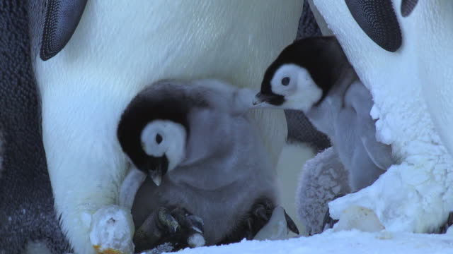 CU Two young Emperor penguin chicks on parents feet call and pecking at each other / Dumont D'Urville Station, Adelie Land, Antarctica