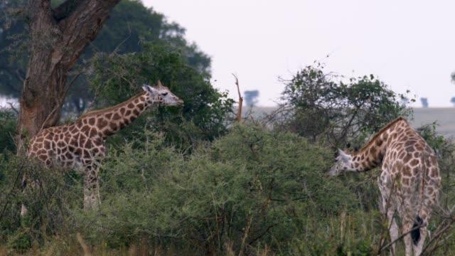 2 つの若いキリン - ウガンダ点の映像素材/bロール