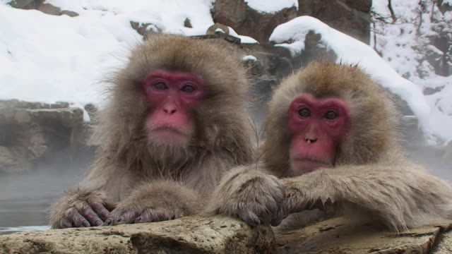 cu two young japanese macaques (macaca fuscata) leaning on rocks in hot spring / jigokudani, nagano prefecture, japan - macaque stock videos and b-roll footage