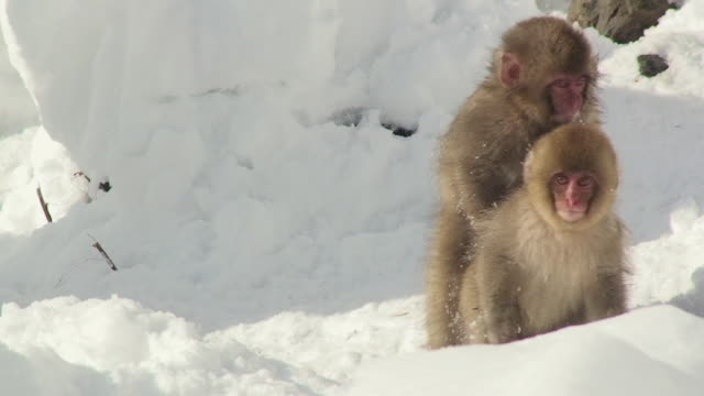 ms two young japanese macaques (macaca fuscata) playing in snow / jigokudani, nagano prefecture, japan - play fight stock videos and b-roll footage