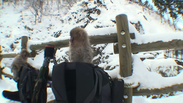 vidéos et rushes de ws two young japanese macaques (macaca fuscata) playing on photo bags and tripod on snow / jigokudani, nagano prefecture, japan - sac