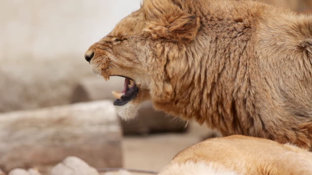 stockvideo's en b-roll-footage met two young lions mating. - agressie