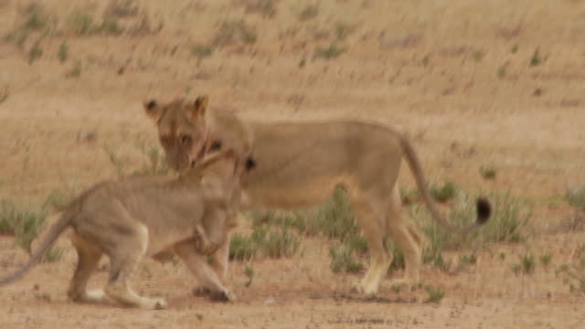 Two young Lions playing together