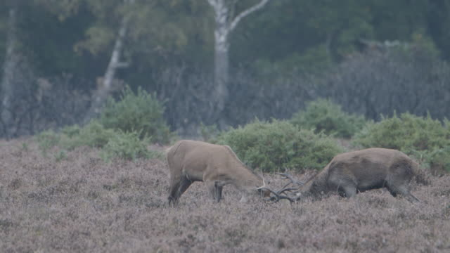 two young male red deer (cervus elaphus) sparring, new forest - antler stock videos & royalty-free footage
