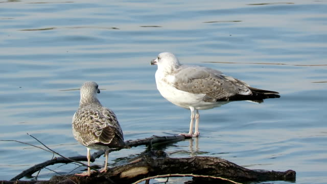 two young seagulls on the river - yellow-legged gull (larus michahellis) - sea water bird stock videos & royalty-free footage