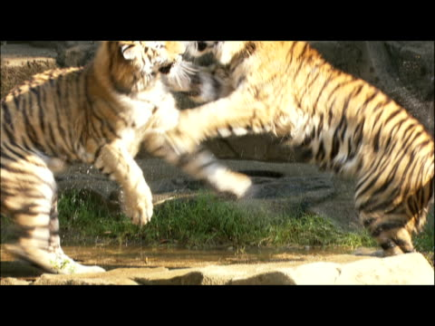 two young tigers paw and chase each other into a shallow pool. - other stock videos & royalty-free footage
