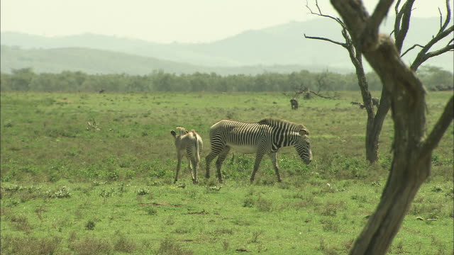 Two zebra graze on the savannah.