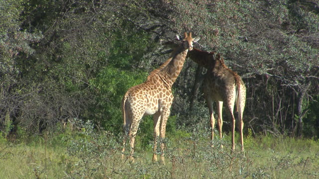 ms pan two zebra's eatin from tree at entabeni private game reserve / limpopo, south africa - pälsteckning bildbanksvideor och videomaterial från bakom kulisserna
