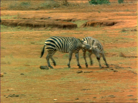 pan two zebras fighting on dusty plain / other zebras run past / africa - cinematografi bildbanksvideor och videomaterial från bakom kulisserna