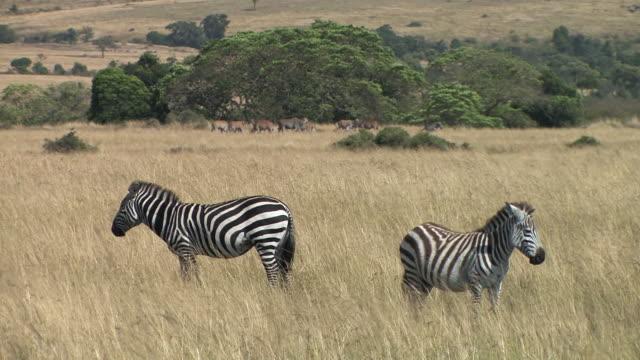 ms, two zebras (equus burchellii) in savanna, elands (taurotragus sp.) in background, masai mara, kenya - steppenzebra stock-videos und b-roll-filmmaterial
