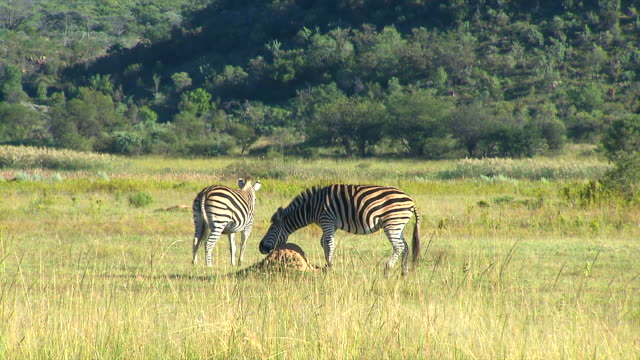 MS Two zebra's in veld at Entabeni Private Game Reserve / Limpopo, South Africa