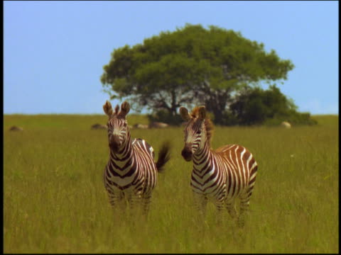 Two zebras on grassy plain looking toward camera / one nodding head / Serengeti, Tanzania, Africa