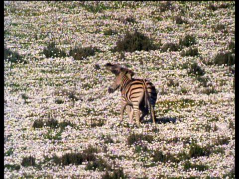 Two zebras play fight among white desert flowers after rain, Karoo desert