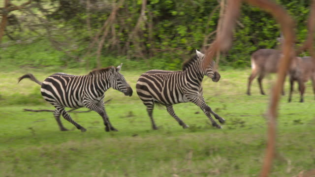 Two zebras run, play, fight in an acacia forest, slow motion pan