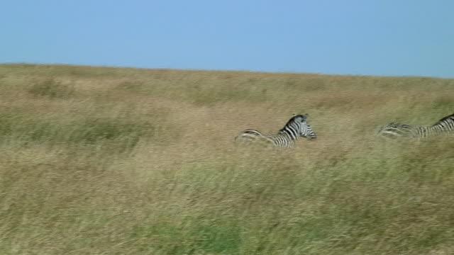 vídeos y material grabado en eventos de stock de ws pan two zebras running through grass, serengeti, tanzania - encuadre de tres cuartos