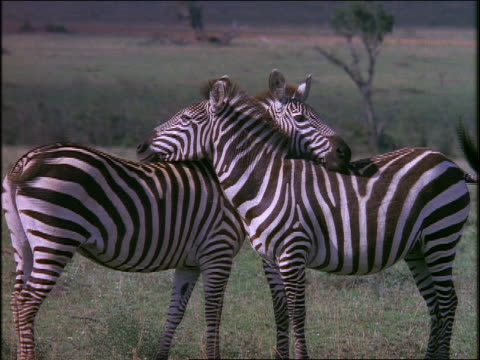Two zebras standing neck to neck on grassy plain / Africa