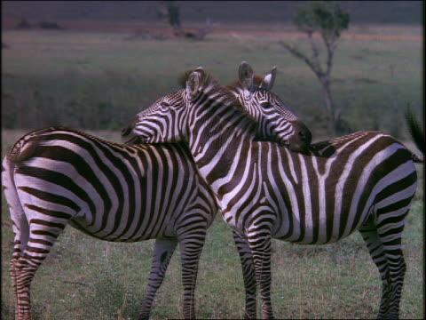 two zebras standing neck to neck on grassy plain / africa - tierthemen stock-videos und b-roll-filmmaterial