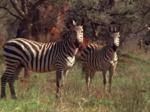 two zebras - pflanzenfressend stock-videos und b-roll-filmmaterial