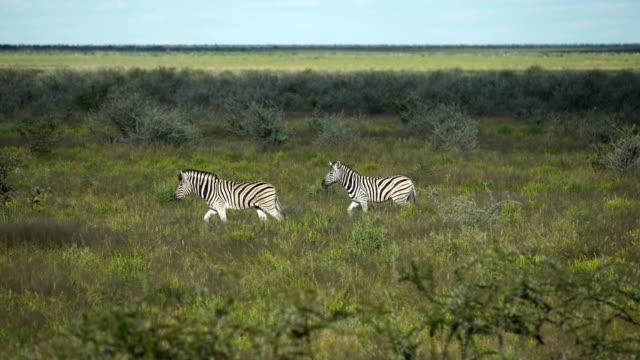 two zebras walking through savannah - herbivorous stock videos & royalty-free footage