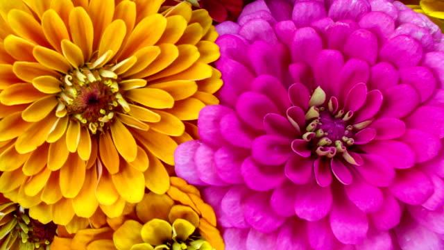 2 つジニアの花 - flower head点の映像素材/bロール