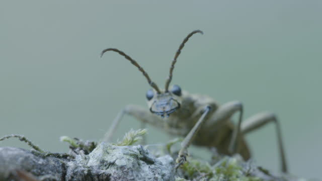 two-banded longhorn beetle (rhagium bifasciatum) taking flight - insect stock videos & royalty-free footage