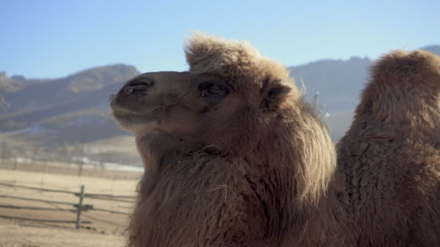 two-humped bactrian camel against blue sky - northern countryside, mongolia - two people stock videos & royalty-free footage