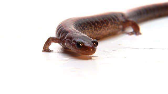 ms, two-lined salamander (eurycea bislineata) on white background - braun stock-videos und b-roll-filmmaterial