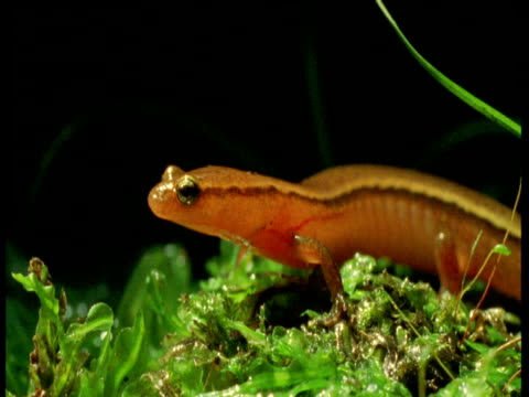 "vidéos et rushes de two-lined salamander wanders away, florida - ""bbc natural history"""