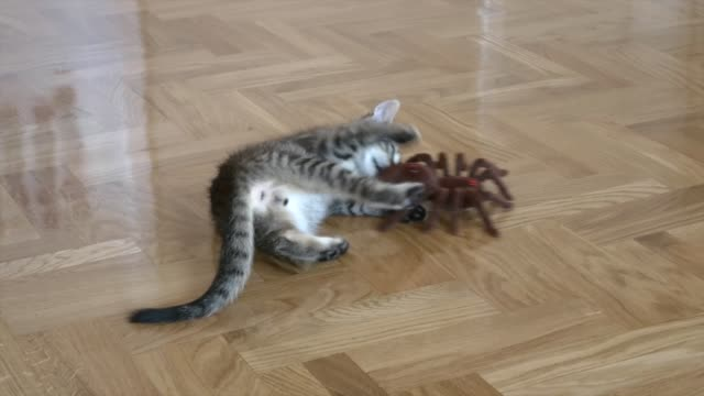 vídeos de stock, filmes e b-roll de two-month-old kitten is not so afraid of this terrible remote controlled arachnid. he chases the spider and attacks it and when spider goes towards... - invertebrado