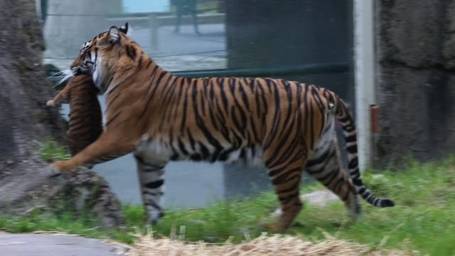 A twomonthold Sumatran tiger cub plays with its mother Leanne in their enclosure at the San Francisco Zoo on April 12 2013 in San Francisco...