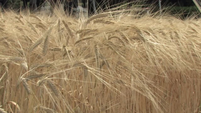 vídeos de stock e filmes b-roll de two-row barley field, saitama, japan - agrafo