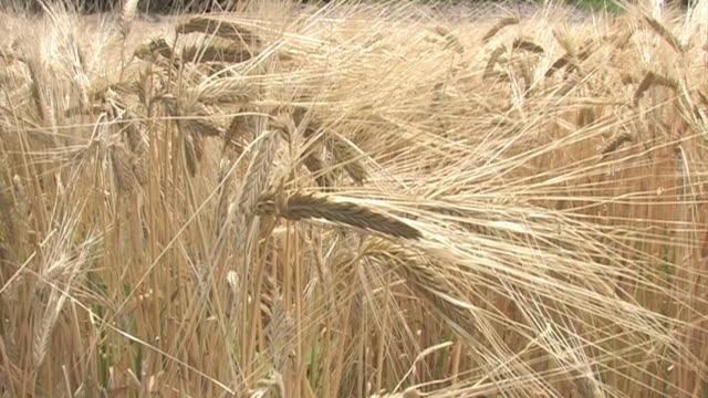 vídeos de stock e filmes b-roll de zi, two-row barleys, saitama, japan - agrafo
