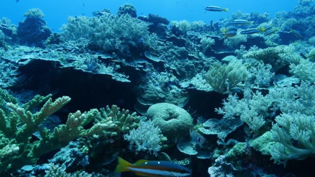 Two-spot gestreepte snapper, koraalrif